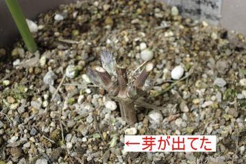 富士のクサボタン_IGP4757