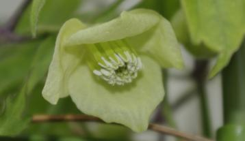 白花ハンショウヅル(クレマチス)_IGP5204 (3)