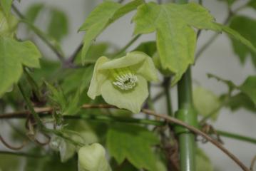 白花ハンショウヅル(クレマチス)_IGP5204 (2)