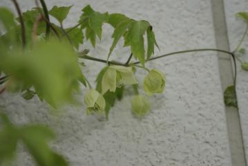 白花ハンショウヅル(クレマチス)_IGP5204 (1)