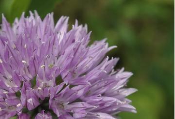 ニンニクの花?_IGP5559 -1(1)