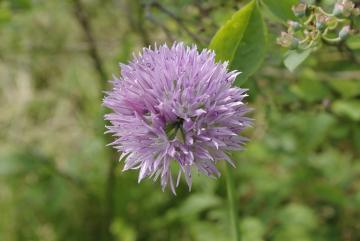 ニンニクの花?_IGP5559 (1)