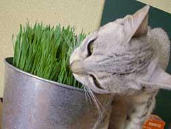 猫草とちー