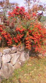 晩秋の赤い実