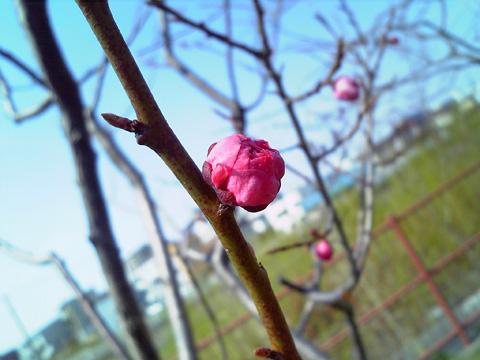 20090429sakura1.jpg