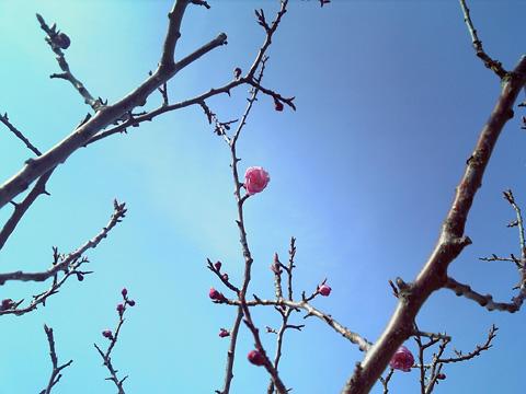 20090429sakura3.jpg