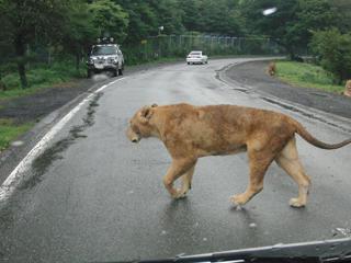 横切るライオン