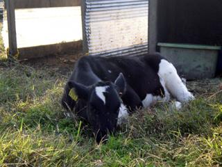 西山牧場の子牛