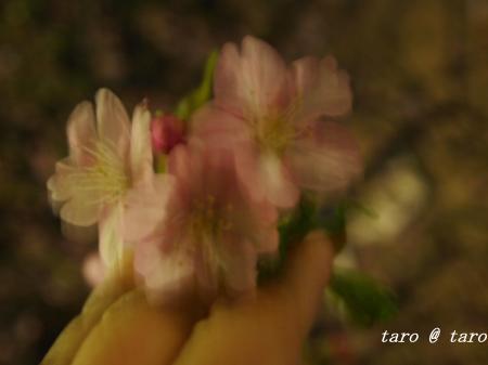 モニちゃん&夜桜3