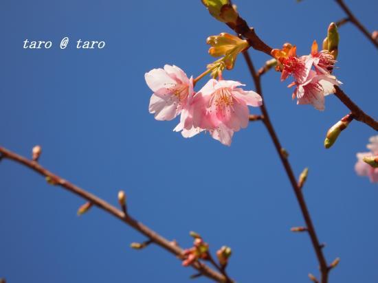 桜リベンジ1