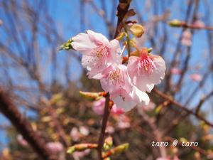 桜リベンジ2