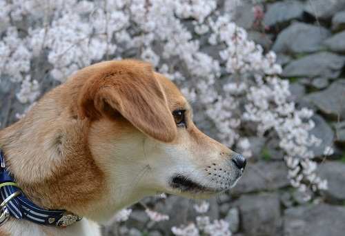 4月2日桜