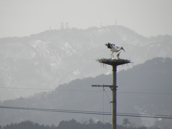さっき飛んでいたコウノトリが餌を持って帰ってきました。