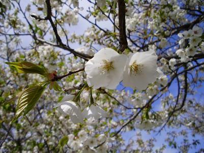 100426桜