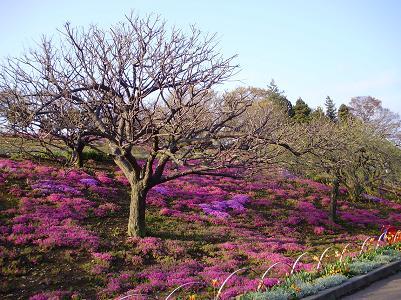 100507芝桜