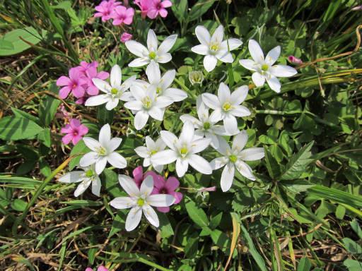 20110503・植物05・オオアマナ