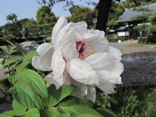 20110503・植物13・ボタン
