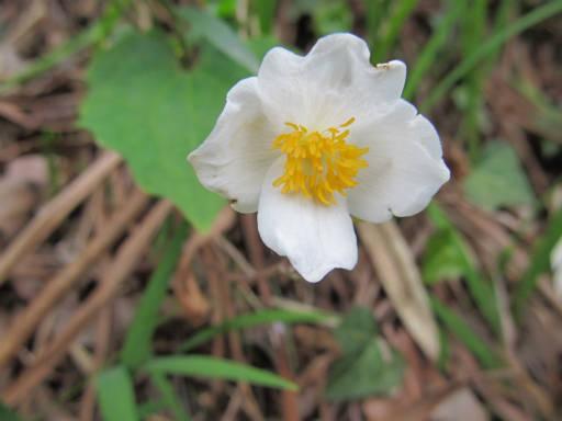 20110503・植物20・シラユキゲシ