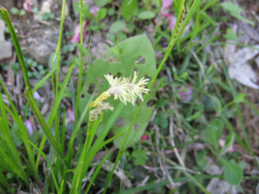 20110515・松之山植物10・ホソイ