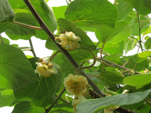 20110522・植物探し04・キウイ