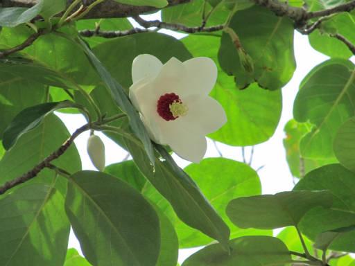 20110522・植物探し06・オオヤマレンゲ