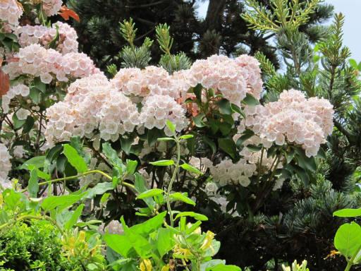 20110522・植物探し05・カルミア