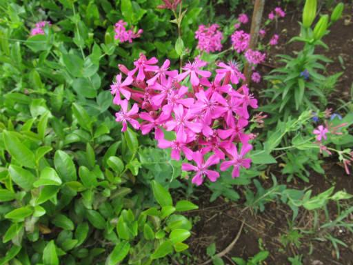 20110522・植物探し12・ムシトリナデシコ