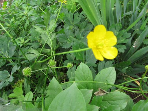 20110522・植物探し11・ウマノアシガタ