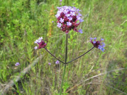 20110604・狭山湖初夏の花18・ヤナギハナガサ