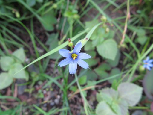 20110604・狭山湖初夏の花20・アイイロニワゼキショウ