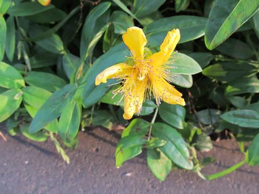 20110604・狭山湖初夏の花43・ビヨウヤナギ