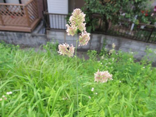 20110604・狭山湖初夏の花47・カモガヤ