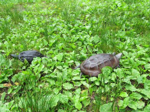 20110626・駒出池カメさん11