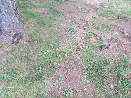 20110626・駒出池カメさん07