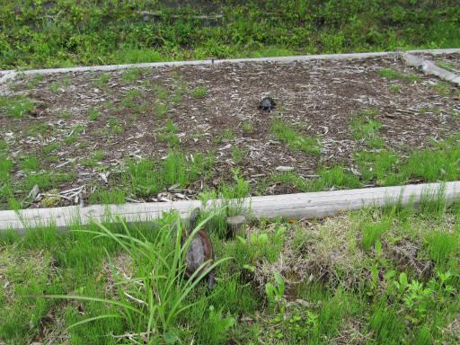 20110626・八千穂高原カメさん01