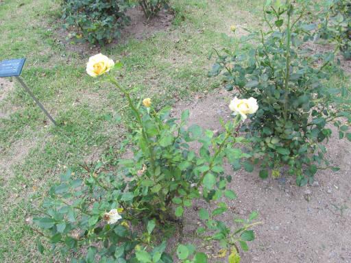 20110625・敷島公園ばら園のバラ01-2