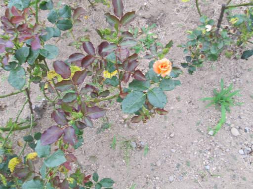 20110625・敷島公園ばら園のバラ04-2
