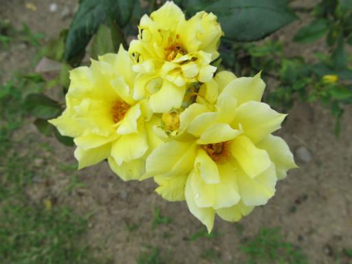 20110625・敷島公園ばら園のバラ05-2