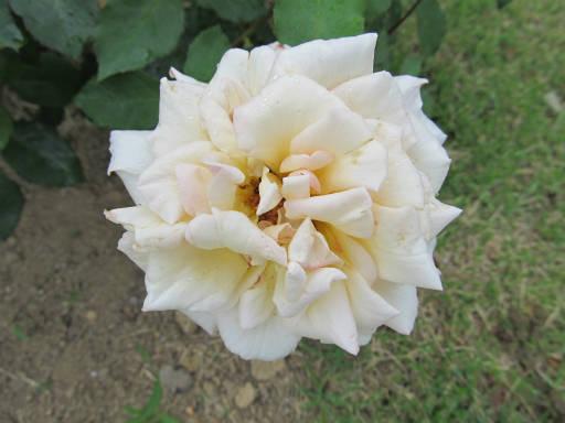 20110625・敷島公園ばら園のバラ07-2