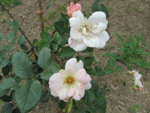 20110625・敷島公園ばら園のバラ11-2