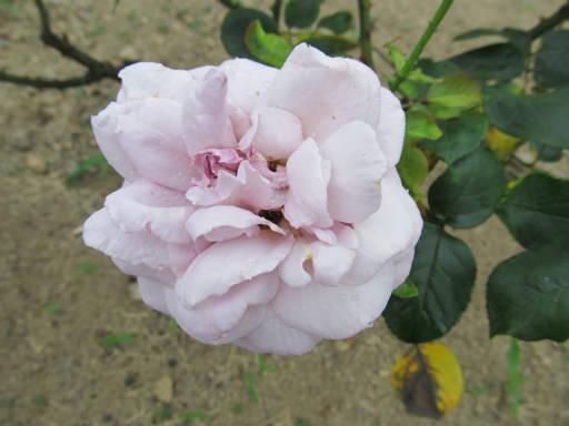 20110625・敷島公園ばら園のバラ10-2