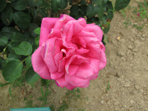 20110625・敷島公園ばら園のバラ26-2