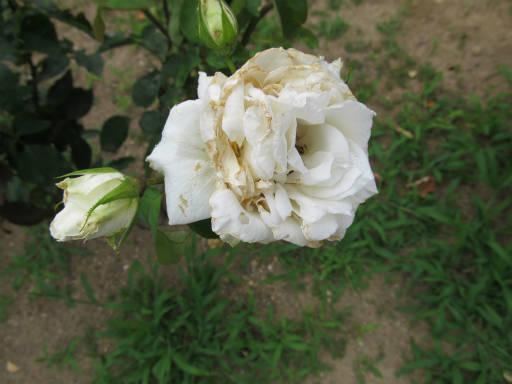 20110625・敷島公園ばら園のバラ29-2