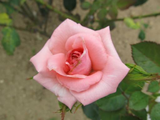 20110625・敷島公園ばら園のバラ32-2
