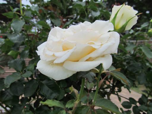 20110625・敷島公園ばら園のバラ34-2