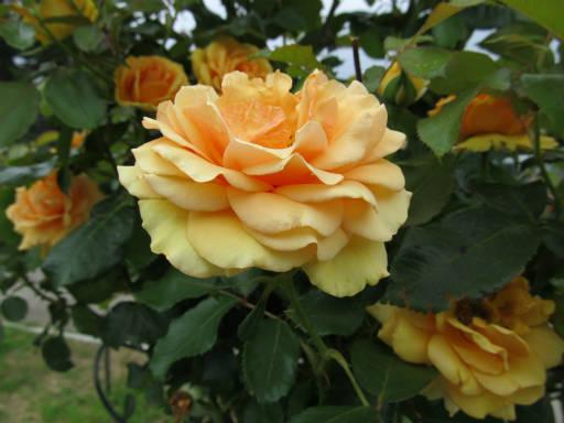 20110625・敷島公園ばら園のバラ33-2