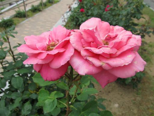 20110625・敷島公園ばら園のバラ42-2