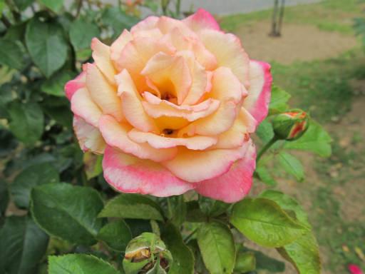 20110625・敷島公園ばら園のバラ40-2
