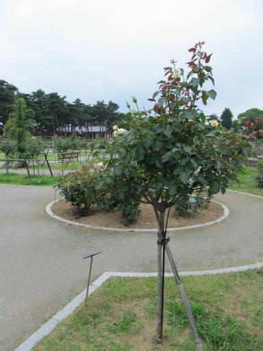 20110625・敷島公園ばら園のバラ34-3