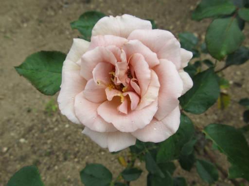 20110625・敷島公園ばら園のバラ44-2